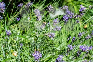 Bee gathering on lavender bloom - franky242 photography
