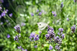 Cabbage butterfly drinking from lavender - franky242 photography