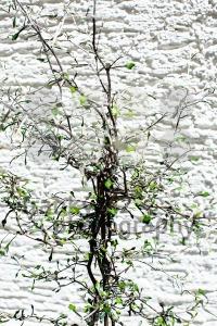 Zigzag plant/Corokia cotoniaster - franky242 photography