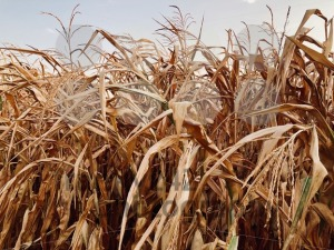 dry cornfield in autumn - franky242 photography
