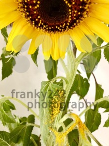 sunflower losing its pollen - franky242 photography