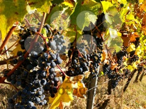 ipe purple grapes on a vine in autumn - franky242 photography