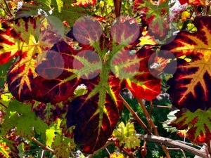 colorful vine leaves in autumn - franky242 photography