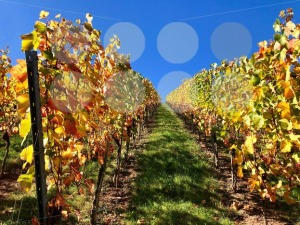 vineyard on a sunny autumn day - franky242 photography