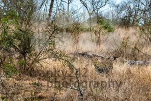 Camouflaged leopard - franky242 photography