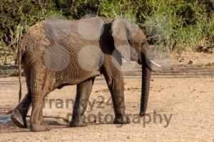 Elephant marching through the savannah - franky242 photography