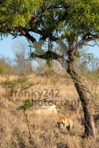 Leopard in tree defending the remains of his kill against a hyena - franky242 photography
