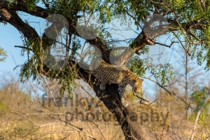 Leopard leaving his tree - franky242 photography