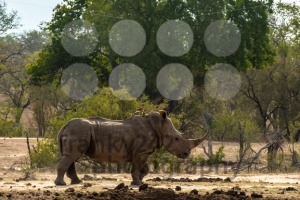 White rhino on the savannah - franky242 photography