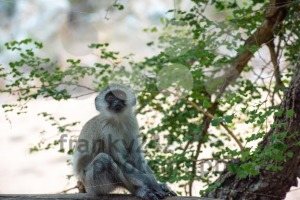 A young and curious African Vervet Monkey - franky242 photography