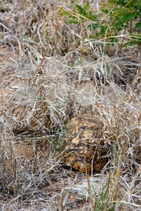 African Leopard Tortoise hiding underneath the grass - franky242 photography