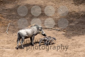 Baby Warthogs and Mom - franky242 photography