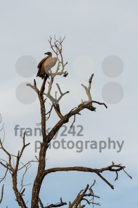 Cinereous vulture or black vulture - franky242 photography