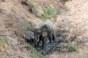 Elephant having a cool mud bath - franky242 photography