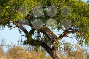 Leopard in tree resting next to the remains of his kill - franky242 photography