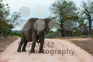 Single African elephant bull walking in a road - franky242 photography