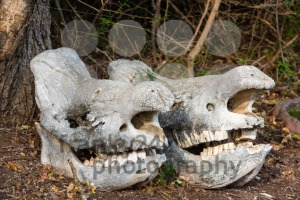 Two massive rhino skulls - franky242 photography