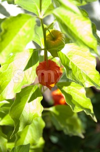 Chinese Lantern Plant Stock Photo