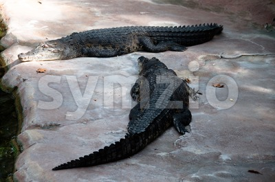 Crocodiles Stock Photo