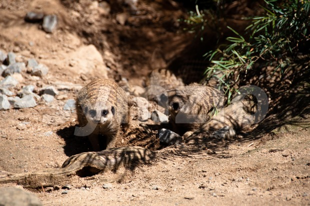 Meerkats playing Stock Photo