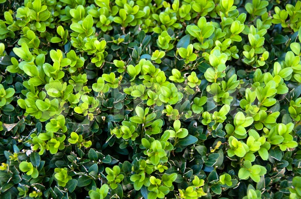 Buxus Sempervireus Stock Photo