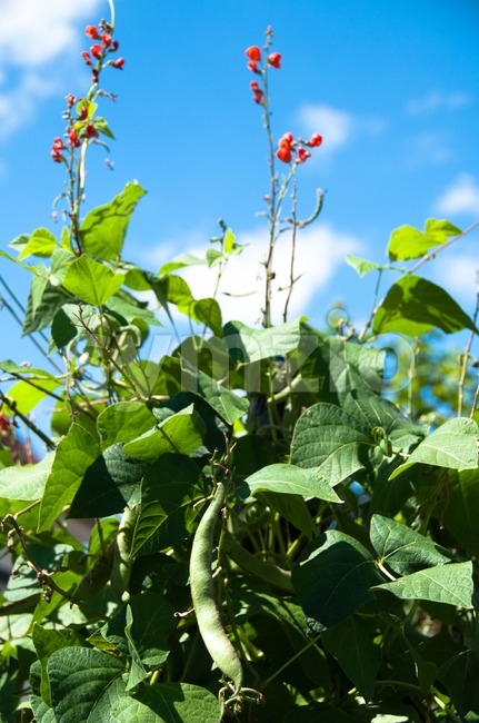 Runner bean with red flowers and reap bean