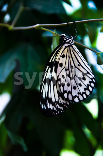 Close-up of a beautiful black and white butterfly against plant background