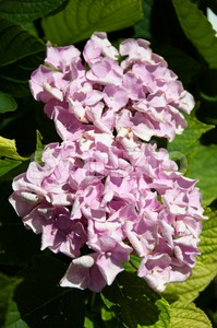 Hortensia flower Stock Photo