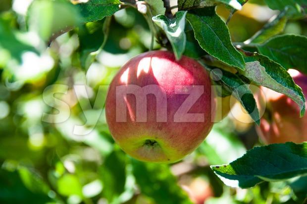 Apple on tree Stock Photo