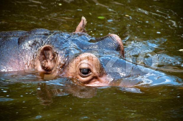 Happy Hippo Portrait Stock Photo