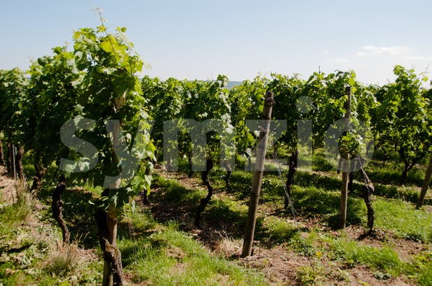 Rows of young grapes in wineyard of southern germany region rheinland pfalz