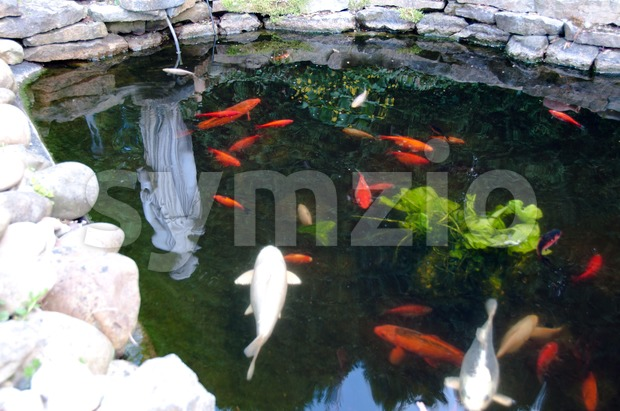 Hungry Koi Fishes in Garden Pond Stock Photo
