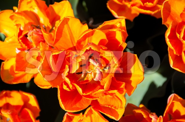 Red Orange Tulips garden Stock Photo