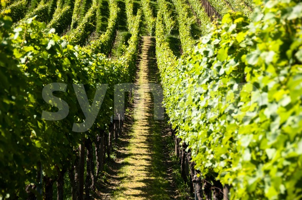 Rows of young grapes in wineyard of southen germany region rheinland pfalz