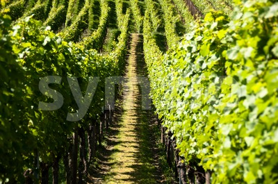 Wineyards In Early Summer Stock Photo
