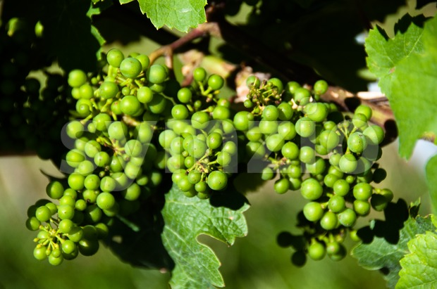Small Green Grapes in Vineyard in Summer Stock Photo