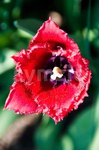 Red Tulip in Garden Stock Photo