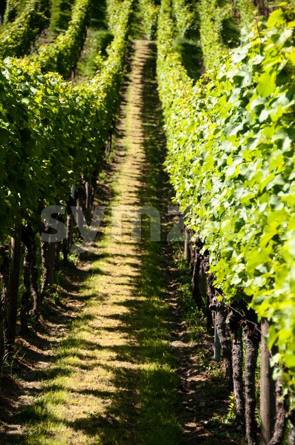 Rows of young grapes in wineyard of southern germany region rheinland pfalz