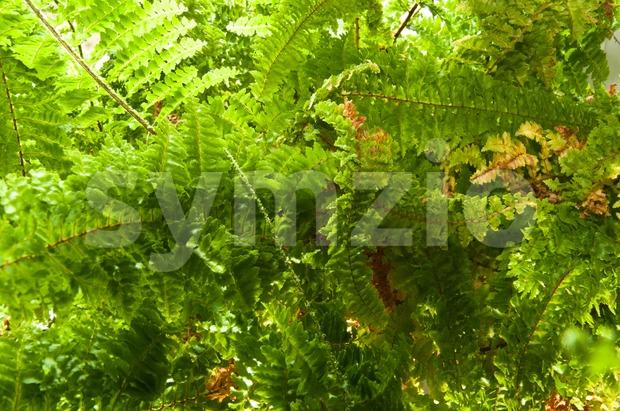 Fern Plant in Sunlight Stock Photo