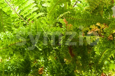 Fern Plant in Sunlight Stock Photo