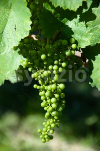 Small Green Grapes in Vineyard Stock Photo