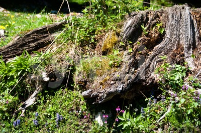 Alpine tree stump Stock Photo