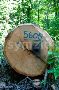 Cut Down Tree Stock Photo