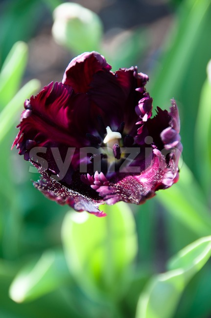 Close up view of a purple tulip in the garden