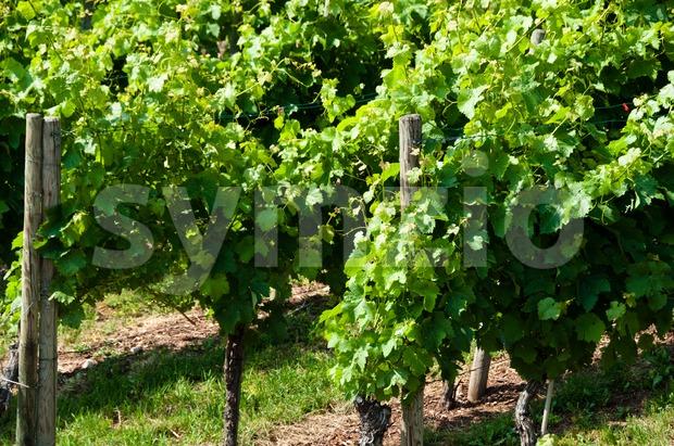 Vineyard with fresh little grapes in spring in Obertürkheim near Stuttgart, Germany