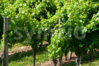 New Wine Stock Photo