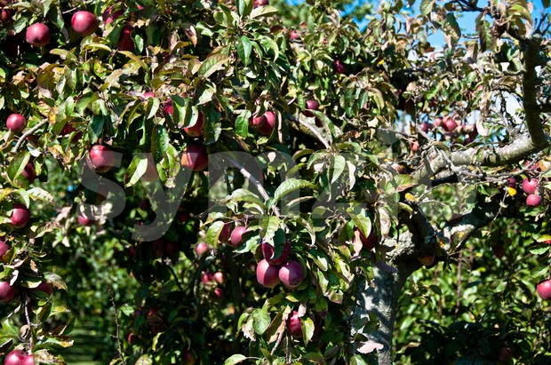 Old apple tree in late summer with rich fruits