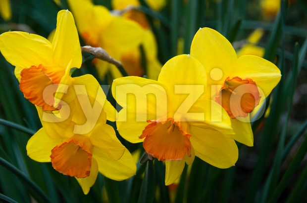 Daffodils in Spring Stock Photo