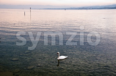 Swan in Lake Constance Stock Photo