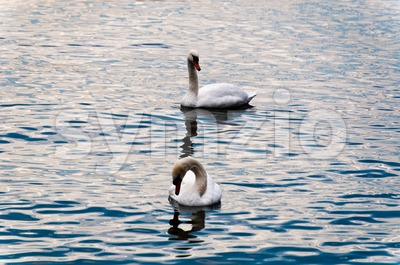 Swans in Lake Constance Stock Photo